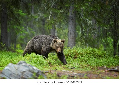 A close up photo of wild female of Brown bear, Ursus arctos, staring at camera in deep green european forest carefully watching surroundings. Brown bear in the rain. Wildlife photography in taiga.