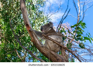 A close up photo of a wild Koala in a tree taken in Apollo bay on the Great Ocean Road