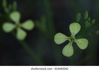 Close up photo of winter cress flower