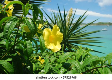Close up photo of yellow allamanda flower, Saint-Martin Island