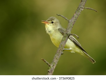 Close up photo of yellow, small passerine bird Hippolais icterina, Icterine Warbler, perched on diagonal twig. Green background with yellow bokeh effect. Summer, Europe, Czech republic.