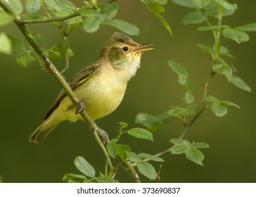 Close up photo of yellow, small passerine bird Hippolais icterina, Icterine Warbler, perched on rose bush, among leaves. Green abstract background with yellow bokeh effect.Europe, Czech republic.