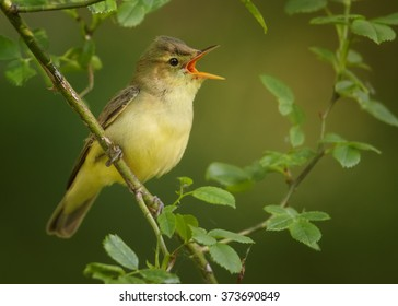 Close up photo of yellow, small passerine bird Hippolais icterina, Icterine Warbler, perched on rose bush, among leaves and singing with opened bill. Green abstract background. Europe, Czech republic.