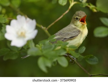 Close up photo of yellow, small passerine bird Hippolais icterina, Icterine Warbler, perched on rose bush, among leaves and flowers,singing. Green abstract background. Europe, Czech republic.