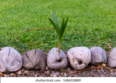 Close up photo of a young coconut sprout emerging from an old coconut. Old coconuts serve as a  border stone along gravel walkway