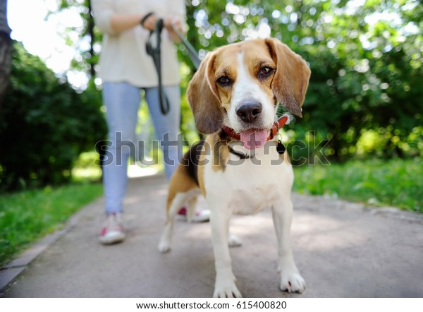 夏の公園でビーグル犬と歩く若い女性の接写。飼い主の従順なペット