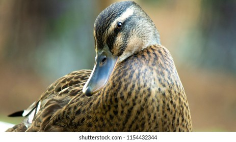 Close up of photogenic duck