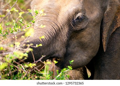 A close up photograph of an adult Sri Lankan Elephant (Elephas maximus maximus) feeding on small shrubs in the Udawalawe National Park in Southern Sri Lanka.