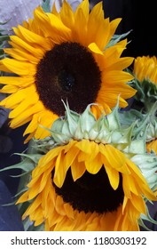 Close up photograph of beautiful and bright yellow sunflowers