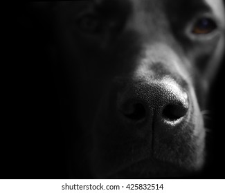 Close up photograph of a black labrador retriever with only his nose in focus. Copy space is provided at the left hand side on the black background.