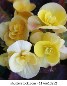 Close up photograph of a perennial flowering, bright yellow begonias in a summer garden.