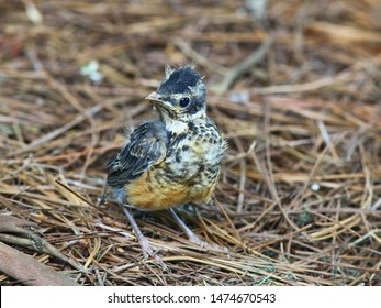 Close up photograph of a fledgling American Robin bird with pin feathers and an egg tooth. Selective focus on the bird.
