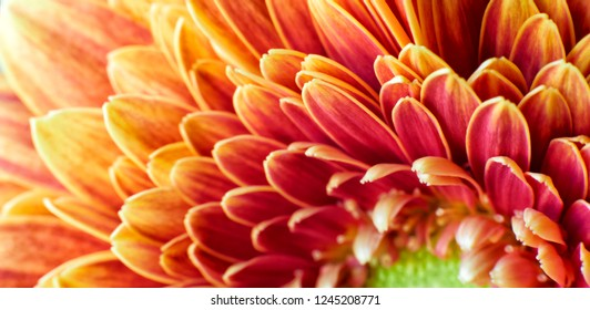 Close up photograph of Golden Chrysanthemum flower showing the stamen and petals