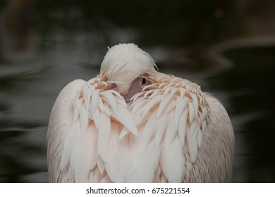 A close up photograph of a Great White Pelican resting.