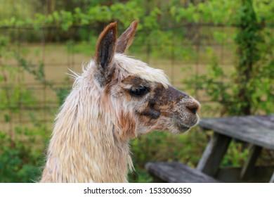 im�genes, fotos de stock y vectores sobre head sideways  felted llamas images in 2019 felt