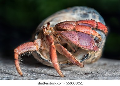 A close up photograph of a hermit crab emerging from the host shell