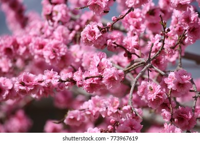 Close up photograph of pink cherry blossoms