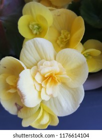 Close up photograph of a pretty, perennial flowering, bright yellow begonia in a summer garden.