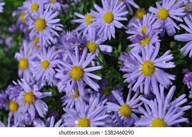 A close up photograph of purple daises with water droplets on petals and background out of focus.