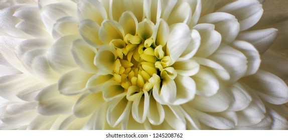 Close up photograph of White Chrysanthemum flower showing the stamen and petals