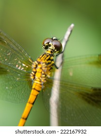A close up photograph of a yellowish gold and black dragonfly at Bombay Hook.