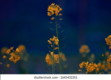 A close up photography beautiful orange mustard seeds flowers petals blooming in the garden cute mustard flowers stock photo.