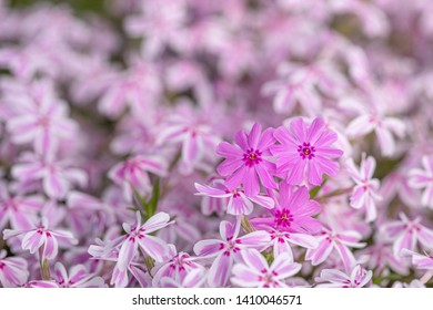 Close up photography: a bed of pink flowers featuring a three purple flowers on the forgroung
