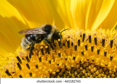 Close up photography of honeybee collects pollen from sunflower. Nature background with yellow flower and bee macro. Summer nature photography with honey bee collects pollen from bright sunflower.