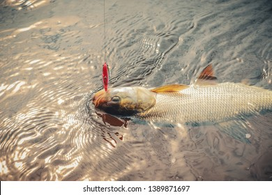 Close up photography of predatory fish Asp (Aspius aspius). Fishing.