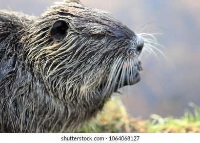 Close up photography of a single nutria or coypu while eating a carrot at a river bank on a bright sunny day.