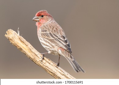 Close up photos of a house finch with even backgrounds.