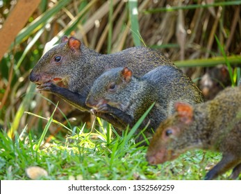 Close Up picture of an Agouti in Colombia