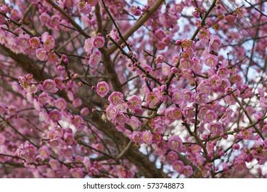 Row North Carolina Apricot Trees Bloom Stock Photo Edit Now
