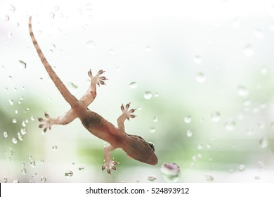 Close up picture of Asian house gecko on the glass in raining day