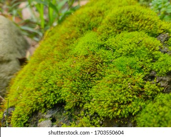 Close up picture of beautiful green moss growing on the damp rock in the garden. The texture of the moss is soft like a carpet, and it's covered almost all part of the rock.