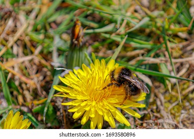 Close up picture of a bumble bee sucking pollen of dandelion, Selective focus of a western honey on carpel of dandelion in the garden, Yellow flowers in the grass field.