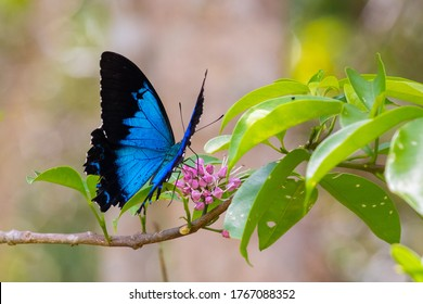 Close up picture of butterfly on a flower. Alive blue Ulysses (Papilio ulysses) open wings in the nature, pollinating pink flowers. Profile side. Yungaburra, Queensland QLD, Australia, Oceania