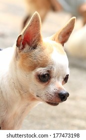 Close up picture of chihuahua
