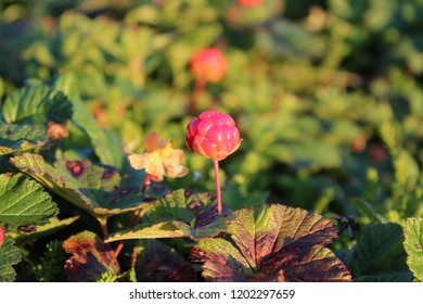 A close up picture of a cloudberry. It is not ready for eating yet, as it is more red than orange. Leafs and vegetation around it.