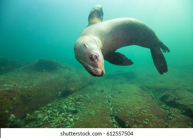 A close up picture of a cute Sea Lion swimming underwater. Picture taken in Pacific Ocean near Hornby Island, British Columbia, Canada.