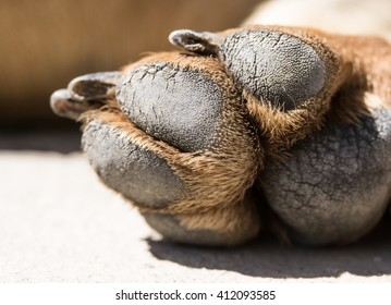 Close up picture of dog paw. Brown dachshund paw
