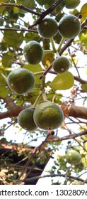 Close up picture of green grapefruit on tree-lmage l