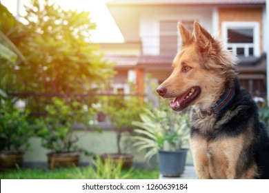 close up picture of guard dog sitting in front of house and garden background, Thai dog, Watchdog concept,