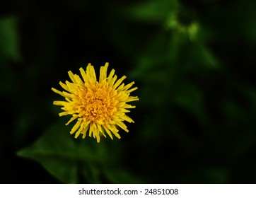 Close up picture of one dandelion with nice green background