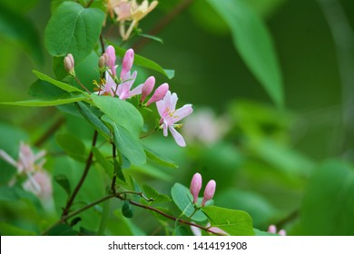 A close up picture of pink honeysuckle wildflowers located in Brighton Recreation Area, Brighton, Michigan.