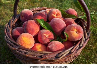Close up Picture of red riped peaches, sweet, juicy, tasty in vintage wickerwork hand basket just after picked in the orchard of organic farm or home garden in summer sun.