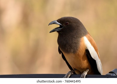 Close up picture of Rufous treepie in ranthambore national park