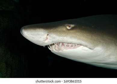 close up picture of scary looking sand tiger shark
