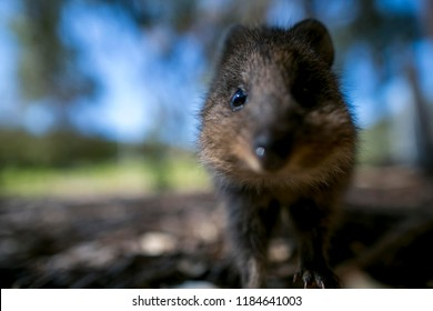 Close up picture of small cute wildlife animal mother Quokka eye looking up my lens while I was taking her pic at public park on Rottnest Island tourist destination in Perth WA, Australia