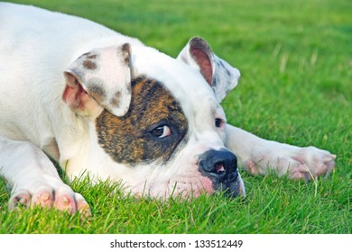 close up picture of spotted american bulldog on the grass